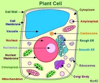 Post 1 plant cells vs animal cell lynns bio blog cells are composed of several different parts each having a specific function to help them do their job of keeping an organism be it plant or animal alive ccuart